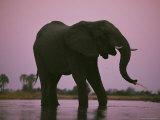 Elephants Roam the Plains of Moremi Game Reserve Fotografisk tryk af Chris Johns