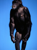 A Chimpanzee with Grass in its Mouth at the San Francisco Zoo Photographic Print by Michael Nichols
