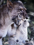 An African Lioness Carries Her Young Cub Photographic Print by Beverly Joubert