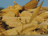 Close View of Corncobs Photographic Print by Joe Scherschel