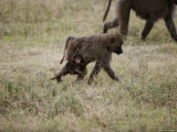 A Juvenile Baboon Clings to its Mother as They Travel Across the Savanna Photographic Print by Skip Brown