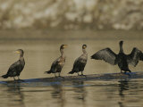 A Group of Double-Crested Cormorants Sun Themselves on a Log Photographie