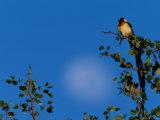 Paradise Whydah Bird Photographic Print by Beverly Joubert