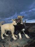 Huskies Fight with Each Other Photographic Print by Paul Nicklen
