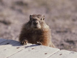 A Close View of a Yellow Bellied Marmot, Yellowstone National Park Photographic Print by Raymond Gehman