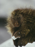 Close View of a Porcupine in the Snow Photographic Print