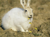 Arctic Hare Eating Arctic Poppies Near Eureka Photographic Print by Gordon Wiltsie