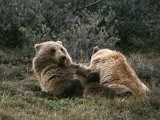 A Grizzly Mother and Her Cub Lounge Together Photographic Print