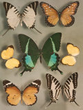 Swallowtail Butterflies of Siam and India Photographic Print by Willard Culver