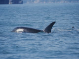 A Killer Whale Feeds in Aialik Bay Photographic Print