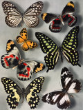 Butterflies of India and Australia Photographic Print by Willard Culver