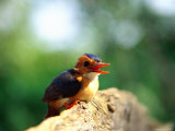 Pygmy Kingfisher Photographic Print by Beverly Joubert