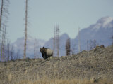 Distant View of a Grizzly Bear Photographic Print by Michael S. Quinton