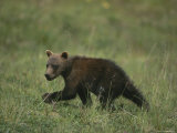 A Grizzly Bear Cub Walks Across a Meadow Photographic Print by Michael S. Quinton