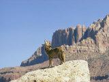 Barking Coyote in Utah Fotografisk tryk af Walter Meayers Edwards