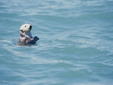 A California Sea Otter Bobs on the Waters Surface Photographic Print by Rich Reid