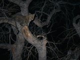 Leopard in a Tree at Night Photographic Print by Beverly Joubert