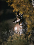 Portrait of a Pronghorn Photographic Print