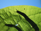Silhouetted Slug on a Leaf Photographic Print by Joel Sartore