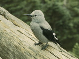Close View of a Clarks Nutcracker Photographic Print by B. Anthony Stewart