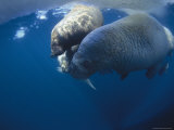 An Adult Atlantic Walrus and Two Pups are Swimming Photographic Print by Paul Nicklen