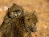Baboons Photographic Print by Beverly Joubert