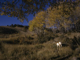 Pronghorn Buck Near a Grove of Aspens Photographic Print by Michael S. Quinton