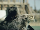 Close View of a Pair of Sea Otters Photographic Print by Robert Sisson
