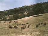 Hereford Cattle Near Pleasanton, California Fotografisk trykk av Charles Martin