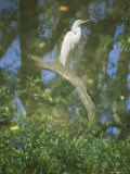 A Reflection of a Snowy Egret Perched on a Twisted Branch Photographic Print by Stephen St. John