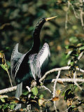 Portrait of an Anhinga Perched on a Branch Photographic Print by Roy Toft
