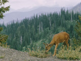 A Deer Shown Grazing on Hurricane Ridge Photographic Print