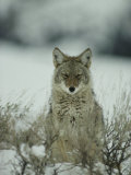 Portrait of a Coyote Sitting in the Snow, Photographic Print