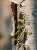 Close-up of a Grasshopper on a Piece of Bark Photographic Print by Brian Gordon Green