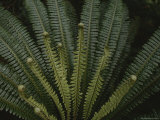 Large Ferns are Plentiful in Fiordland National Parks Forests Photographic Print by Annie Griffiths