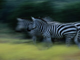 Zebras at Fossil Rim Wildlife Center Photographic Print by Michael Nichols