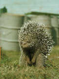 Porcupine Photographic Print by Robert Sisson