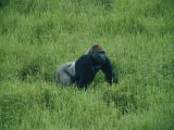 A Lowland Gorilla Walks Through the Forest Photographic Print by Michael Fay