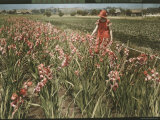Cultivated Gladiolus in Santa Cruz, California Photographic Print by Charles Martin