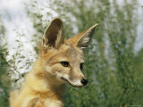 Close-up of a Kit Fox Photographic Print by Walter Meayers Edwards
