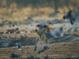 Lioness Disturbs a Flock of Pigeons Photographie par Beverly Joubert