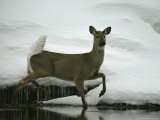 A White-Tailed Deer Paces the Edge of a Stream in Winter Photographic Print