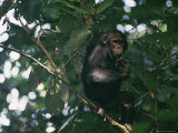 A Chimpanzee Climbing a Tree Photographic Print by Michael Fay