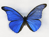 Blue Butterfly Fotoprint