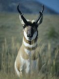 Close Portrait of a Pronghorn Photographic Print by Michael S. Quinton