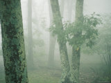 Lichen-Covered Trees in the Mist Photographie par Amy &amp; Al White &amp; Petteway