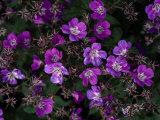 Close View of Purple Wildflowers Fotografisk tryk af Mattias Klum