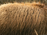 A Close View of the Fur on a Grizzly Bears Back Photographic Print by Michael S. Quinton