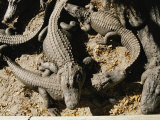 American Alligators Vying for Position in the Warm Sun Photographic Print