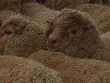 A Group of Sheep Wait to Be Shorn Reproduction photographique par Nicole Duplaix